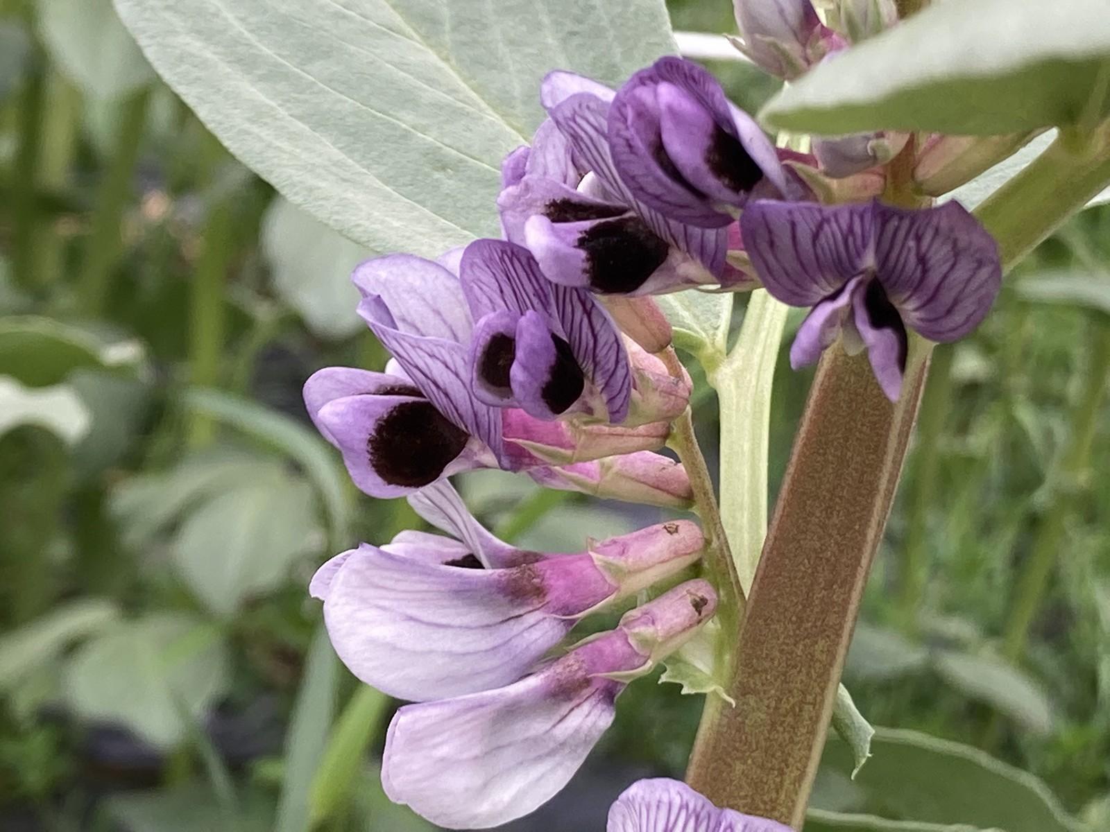 fave di Sauris - il fiore dalle sfumature violacee