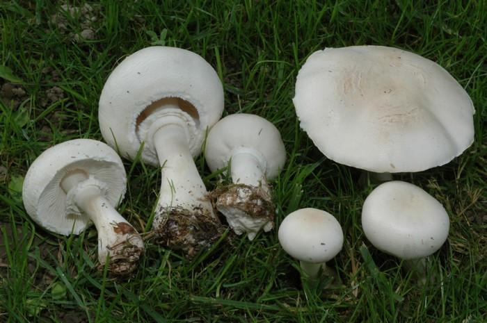 Non sempre il fungo che cresce nel prato un prataiolo - Tipi di riscaldamento casa ...